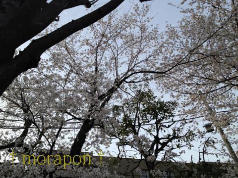 130322 お花見散歩-1