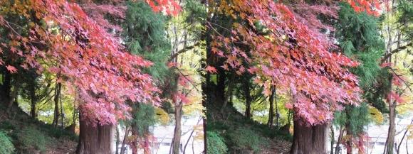 総本山 長谷寺 境内 二本の杉(平行法)