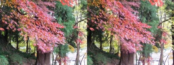 総本山 長谷寺 境内 二本の杉(交差法)