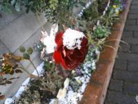 雪の帽子がオシャレな薔薇