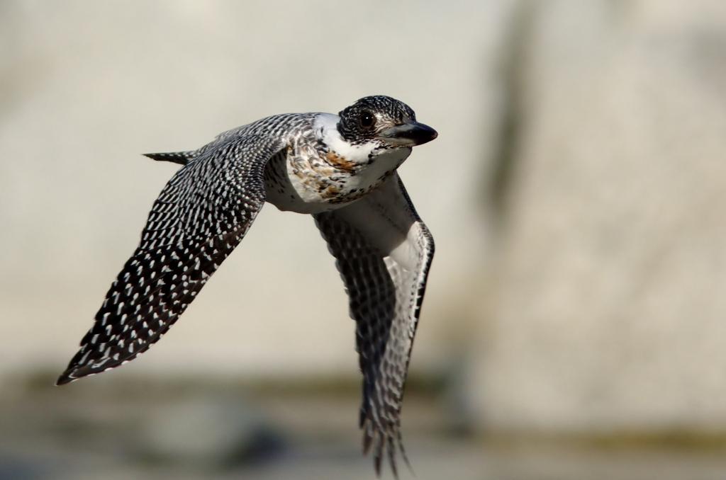 ヤマセミの高速飛翔