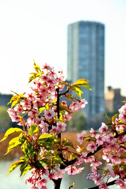 上野の桜6変更済