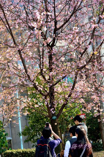 上野の桜2変更済