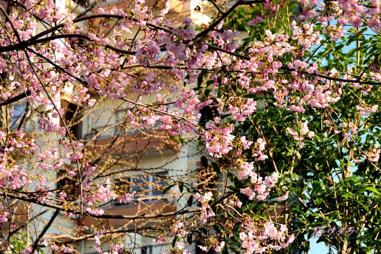 上野の桜3変更済