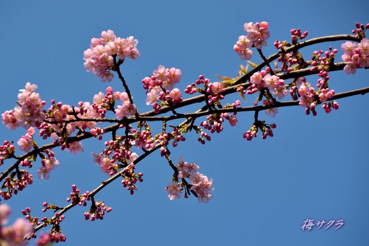 上野の桜5変更済