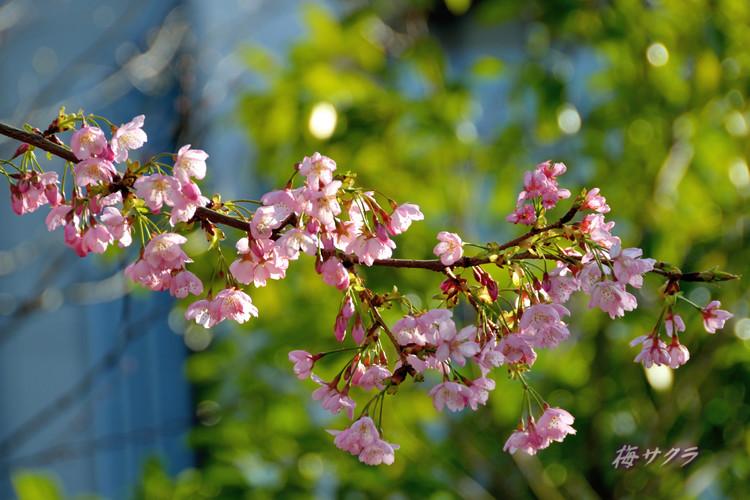 上野の桜4変更済