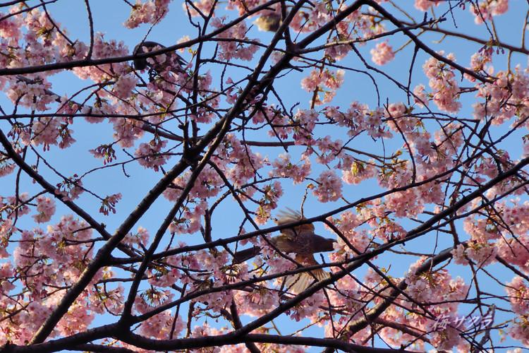 上野の桜8変更済