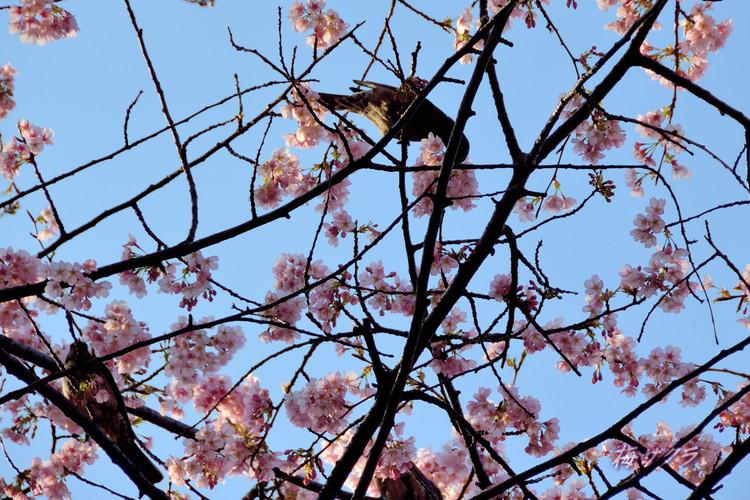 上野の桜7変更済