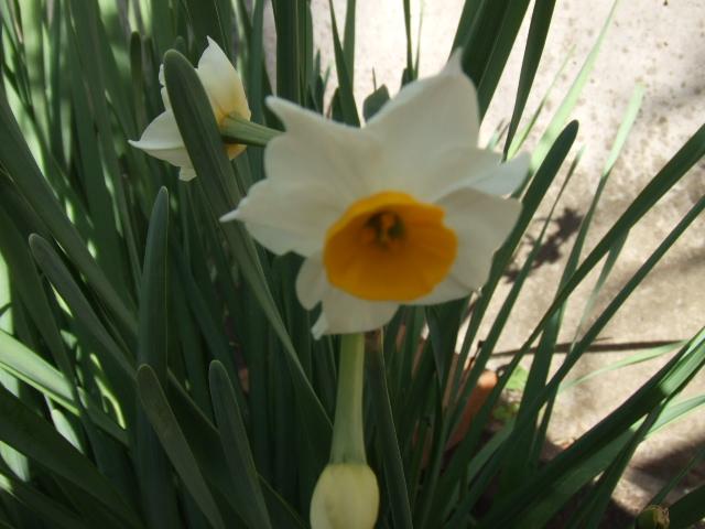 桔梗の花①