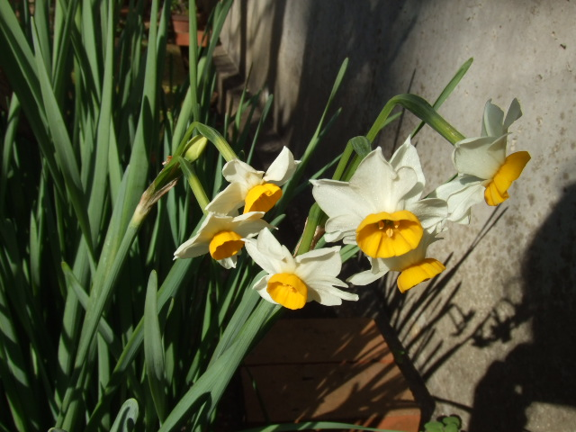 桔梗の花②
