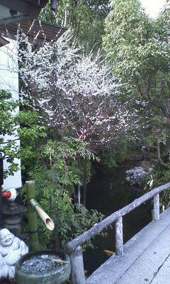神泉苑の梅の花2