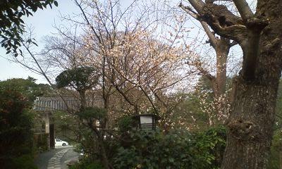 神泉苑の梅の花1