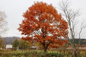 121101 ミズナラ 藤井 (1)
