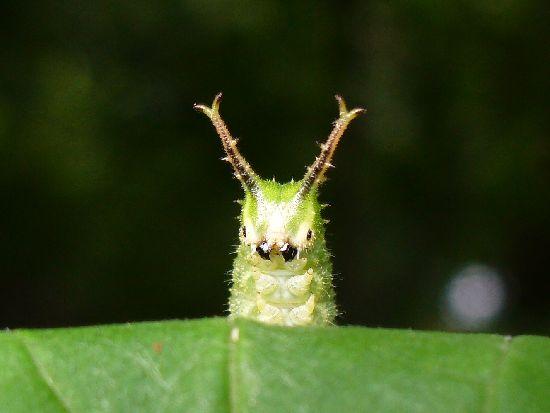 オオムラサキ幼虫