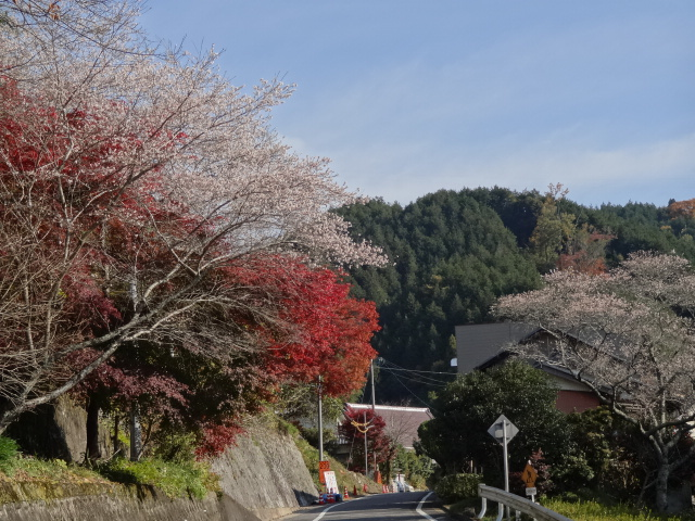 小原村四季桜と紅葉