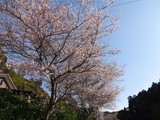 道沿いの四季桜