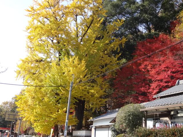 矢作川沿いの銀杏