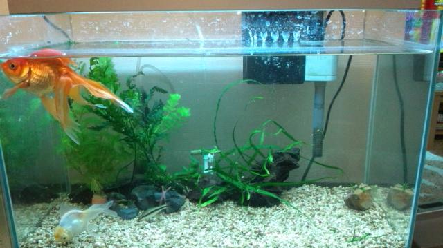 金魚水槽5月11日