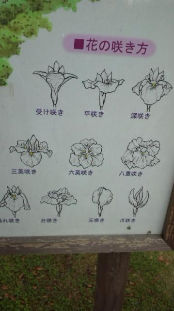 花菖蒲 種類