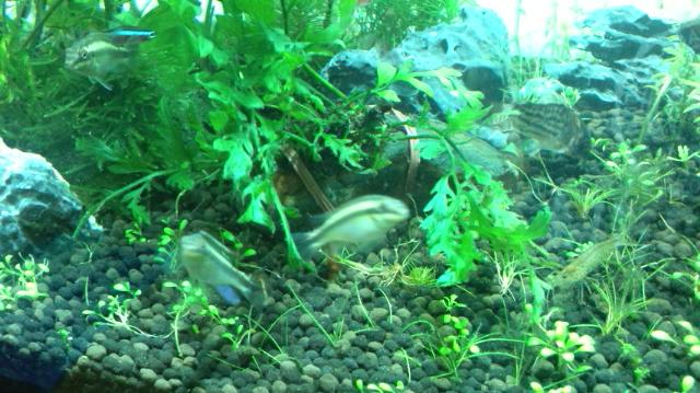 プルケール稚魚