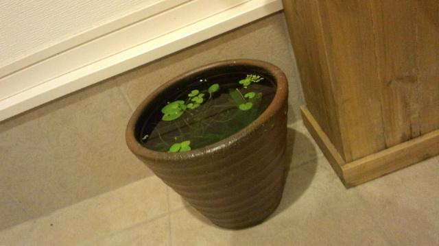 20センチ睡蓮鉢