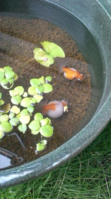 ピンポン 睡蓮鉢