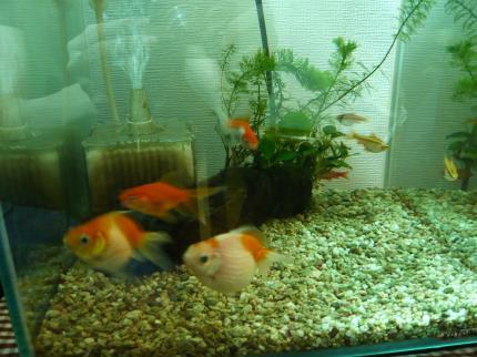 金魚とピンポン