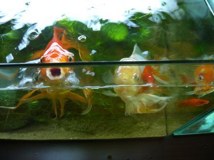 金魚 餌の時間