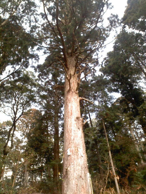 三方神社 一夜の杉