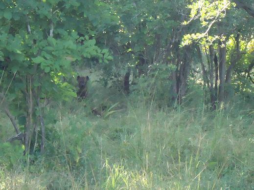 藪の中のハイエナ@サウスルアンガ