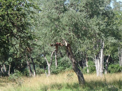 木にぶらさがるインパラ@サウスルアンガ
