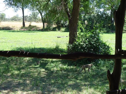 サル@Mfuwe Lodge, サウスルアンガ