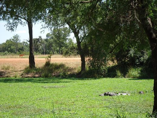 カバとインパラ@Mfuwe Lodge, サウスルアンガ