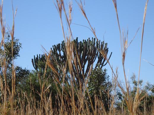 乾季のサボテン