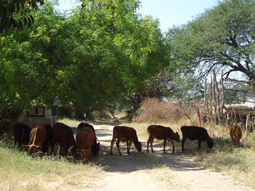 ナミアンガファームの牛