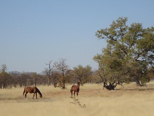ボツワナの野生の馬