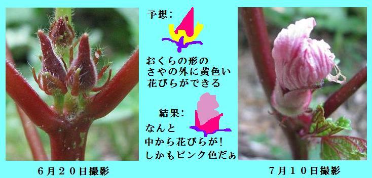 IMG_0798 赤オクラ