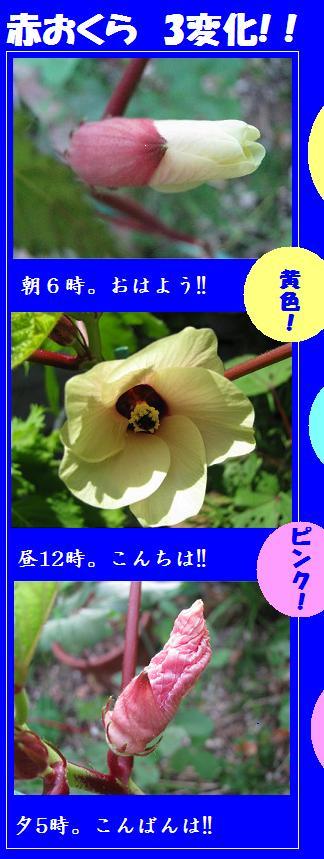 IMG_0940おくら花