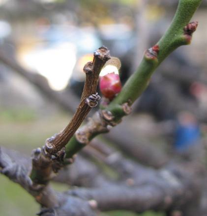 IMG_1859春の芽