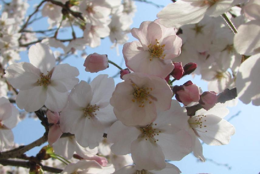 無題sakura