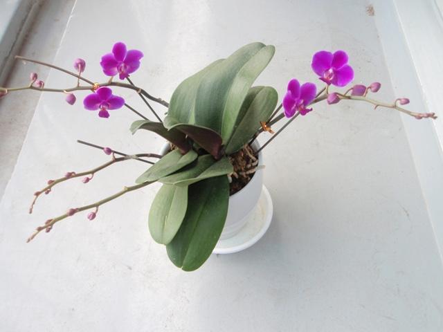 胡蝶蘭2012.5.31