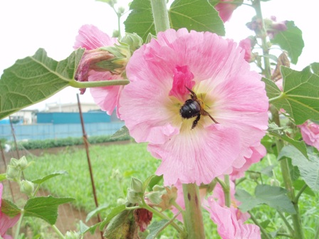葵3・蜂P6180614