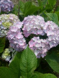 会社の紫陽花