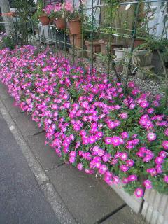 ご近所さんの花壇