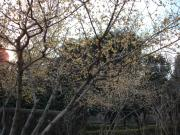 ふれあいの森の蝋梅