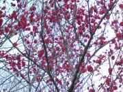 ふれあいの森の梅