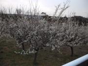 境川サイクリングロードの梅