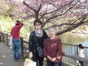 三浦海岸桜まつり 小松ヶ池公園