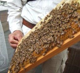 SSP ミツバチ