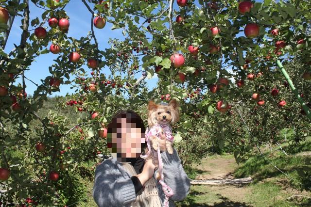 リンゴのトンネル